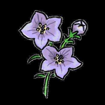ききょうの花